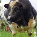 vaca01
