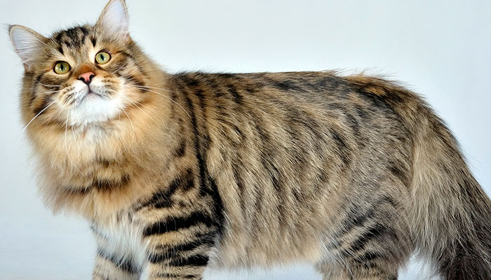 Edad gato